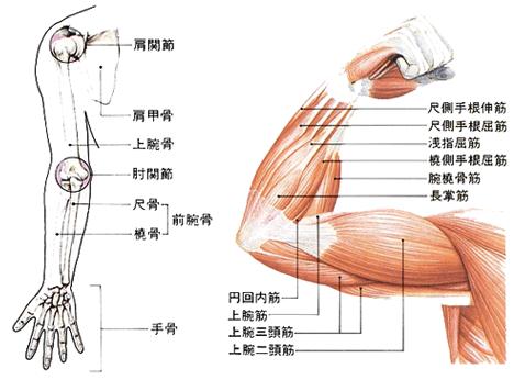肘の関節・筋肉
